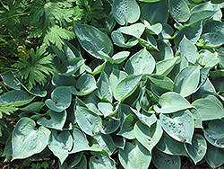 Blue Moon Hosta (Hosta 'Blue Moon') at Oakland Nurseries Inc