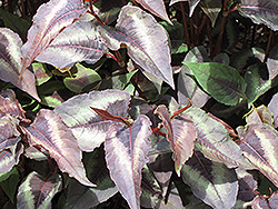 Red Dragon Fleeceflower (Persicaria microcephala 'Red Dragon') at Oakland Nurseries Inc
