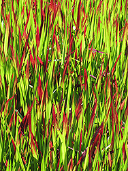 Red Baron Japanese Blood Grass (Imperata cylindrica 'Red Baron') at Oakland Nurseries Inc