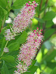 Ruby Spice Summersweet (Clethra alnifolia 'Ruby Spice') at Oakland Nurseries Inc