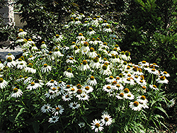 White Swan Coneflower (Echinacea purpurea 'White Swan') at Oakland Nurseries Inc