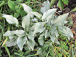 Silver Bouquet Lungwort (Pulmonaria 'Silver Bouquet') at Oakland Nurseries Inc