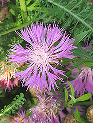 Cornflower (Centaurea dealbata) at Oakland Nurseries Inc