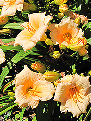 Mini Pearl Daylily (Hemerocallis 'Mini Pearl') at Oakland Nurseries Inc