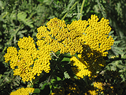 Coronation Gold Yarrow (Achillea 'Coronation Gold') at Oakland Nurseries Inc