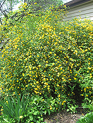 Double Flowered Japanese Kerria (Kerria japonica 'Pleniflora') at Oakland Nurseries Inc