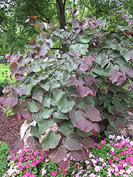 Forest Pansy Redbud (Cercis canadensis 'Forest Pansy') at Oakland Nurseries Inc