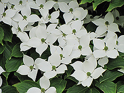 Chinese Dogwood (Cornus kousa 'var. chinensis') at Oakland Nurseries Inc