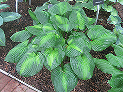 Avocado Hosta (Hosta 'Avocado') at Oakland Nurseries Inc