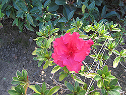 Bloom-A-Thon® Red Azalea (Rhododendron 'RLH1-1P2') at Oakland Nurseries Inc