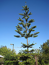 Norfolk Island Pine (Araucaria heterophylla) at Oakland Nurseries Inc