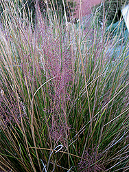 Pink Muhly Grass (Muhlenbergia capillaris 'Pink Muhly') at Oakland Nurseries Inc