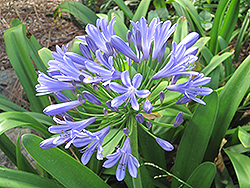 Queen Anne Agapanthus (Agapanthus 'Queen Anne') at Oakland Nurseries Inc