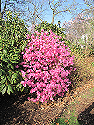 Landmark Rhododendron (Rhododendron 'Landmark') at Oakland Nurseries Inc