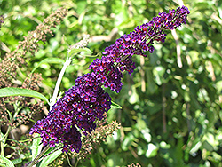 Black Knight Butterfly Bush (Buddleia davidii 'Black Knight') at Oakland Nurseries Inc