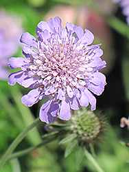 Butterfly Blue Pincushion Flower (Scabiosa 'Butterfly Blue') at Oakland Nurseries Inc