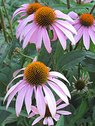 Purple Coneflower (Echinacea purpurea) at Oakland Nurseries Inc
