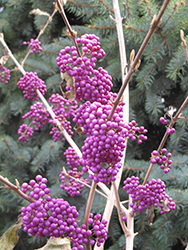 Profusion Beautyberry (Callicarpa bodinieri 'Profusion') at Oakland Nurseries Inc