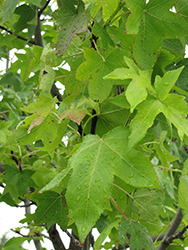 Moraine Sweet Gum (Liquidambar styraciflua 'Moraine') at Oakland Nurseries Inc