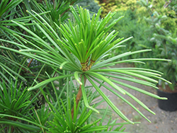 Joe Kozey Umbrella Pine (Sciadopitys verticillata 'Joe Kozey') at Oakland Nurseries Inc