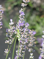 Provence Lavender (Lavandula x intermedia 'Provence') at Oakland Nurseries Inc