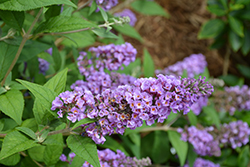Lo And Behold® Blue Chip Dwarf Butterfly Bush (Buddleia 'Lo And Behold Blue Chip') at Oakland Nurseries Inc