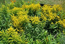 Golden Baby Goldenrod (Solidago canadensis 'Golden Baby') at Oakland Nurseries Inc