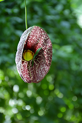 Dutchman's Pipe (Aristolochia macrophylla) at Oakland Nurseries Inc