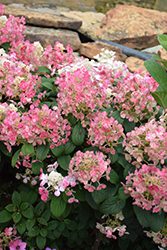 Little Quick Fire® Hydrangea (Hydrangea paniculata 'SMHPLQF') at Oakland Nurseries Inc