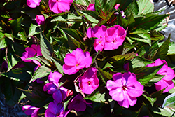 SunPatiens® Compact Purple New Guinea Impatiens (Impatiens 'SAKIMP037') at Oakland Nurseries Inc