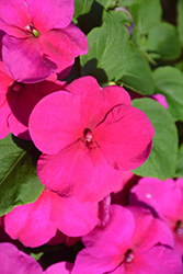 Super Elfin® XP Rose Impatiens (Impatiens walleriana 'Super Elfin XP Rose') at Oakland Nurseries Inc