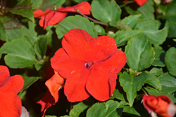 Super Elfin® XP Punch Impatiens (Impatiens walleriana 'Super Elfin XP Punch') at Oakland Nurseries Inc