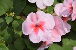 Super Elfin® XP Coral Impatiens (Impatiens walleriana 'Super Elfin XP Coral') at Oakland Nurseries Inc