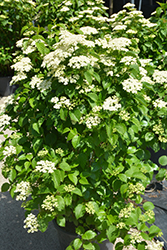 Autumn Jazz Viburnum (Viburnum dentatum 'Ralph Senior') at Oakland Nurseries Inc