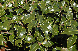 Dragon Lady Holly (Ilex x aquipernyi 'Meschick') at Oakland Nurseries Inc