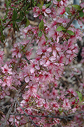 Dwarf Bush Cherry (Prunus jacquemontii) at Oakland Nurseries Inc