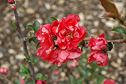 Double Take Pink™ Flowering Quince (Chaenomeles speciosa 'Double Take Pink Storm') at Oakland Nurseries Inc
