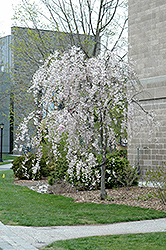 Double Pink Weeping Higan Cherry (Prunus subhirtella 'Pendula Plena Rosea') at Oakland Nurseries Inc