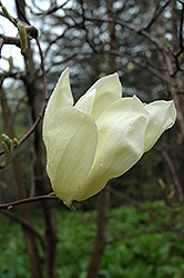 Cucumber Magnolia (Magnolia acuminata) at Oakland Nurseries Inc