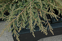 Green Carpet Juniper (Juniperus communis 'Green Carpet') at Oakland Nurseries Inc
