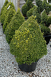 Green Mountain Boxwood (pyramid form) (Buxus 'Green Mountain (pyramid)') at Oakland Nurseries Inc
