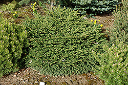 Sharpleaf Dwarf Norway Spruce (Picea abies 'Mucronata') at Oakland Nurseries Inc