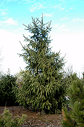Elegantissima Norway Spruce (Picea abies 'Elegantissima') at Oakland Nurseries Inc