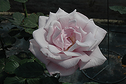 Sterling Silver Rose (Rosa 'Sterling Silver') at Oakland Nurseries Inc