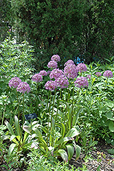 Globemaster Ornamental Onion (Allium 'Globemaster') at Oakland Nurseries Inc