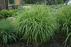 Porcupine Grass (Miscanthus sinensis 'Strictus') at Oakland Nurseries Inc