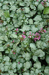 Beacon Silver Spotted Dead Nettle (Lamium maculatum 'Beacon Silver') at Oakland Nurseries Inc