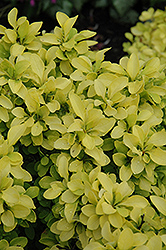 Sunjoy® Gold Beret Dwarf Japanese Barberry (Berberis thunbergii 'Talago') at Oakland Nurseries Inc