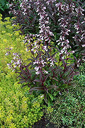 Dark Towers Beard Tongue (Penstemon 'Dark Towers') at Oakland Nurseries Inc
