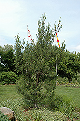 Twisted White Pine (Pinus strobus 'Contorta') at Oakland Nurseries Inc
